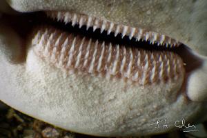 Close up of a Leopard Shark. by Julian Cohen
