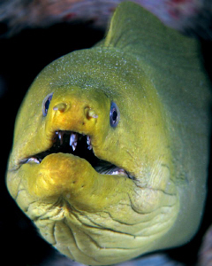 Green Moray at the Fredericksted Pier in St. Croix. by Juan Torres