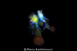 Mandarin wedding- Mandarin Fish- Mabul-Malaysia-Borneo- ... by Marco Bartolomucci