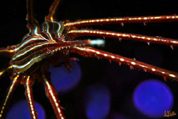 Disco crab!!! Arrow crab in front of an anemone. I adjust... by Arthur Telle Thiemann