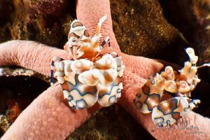 Harlequin Shrimps by Julian Cohen