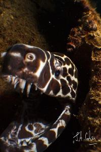 Honeycomb Moray Eel by Julian Cohen