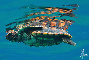 This image is of one of the 30 baby turtles we released n... by Steven Anderson