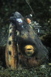 Snake eel and gravid cleaner shrimp. Lauadi, Milne Bay, P... by Erin Quigley