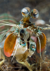 Mantis shrimp. Lembeh, Jan 2008. D200 60mm.  by Mark Thomas