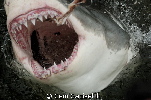 Great White shark by Cem Gazivekili