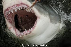Great White shark by Cem Gazivekili