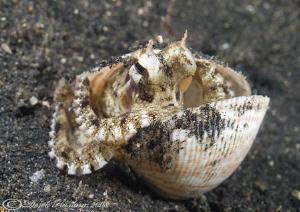 Octopus in shell. Lembeh straits. D200, 60mm. by Derek Haslam