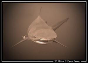 Face to face (Zambezi shark vs Canon G9). by Raoul Caprez