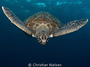 Green turtle on the descend. My aim was to catch the tur... by Christian Nielsen