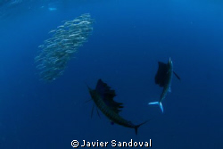 Sailfish hunting sardines in a baitball, great experience... by Javier Sandoval