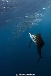 atlantic sailfish hunting sardines, when they atack the b... by Javier Sandoval