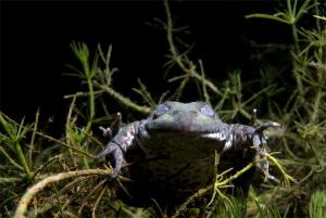 Hibernating Marsh Frog (Pelophylax ridibundus) by Sven Tramaux