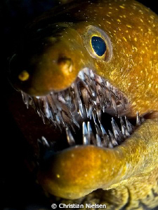 Like crystal (tiger moray). The impressive set of teeth ... by Christian Nielsen