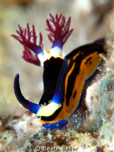 Nembrotha megalocera, taken with Canon G10 and UCL165 by Beate Seiler