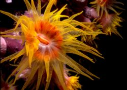 Nice turet coral fully open. Night dive in the red sea... by François Laporte