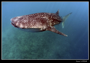 Whale shark ... dedicated specially for my friend Mitch :-D by Daniel Strub