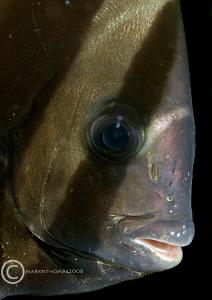 Batfish portrait. Lembeh, Jan 08. D200 60mm. by Mark Thomas