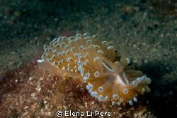 Nudibranco / fotografato ad una profondità di 14 metri d3... by Elena Li Pera
