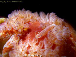 Spanish dance & shrimp...Night Diving in Kenting,TAIWAN. ... by Harry Yang