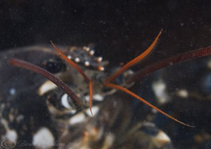 Common lobster. Menai straits. D3, 105mm. by Derek Haslam