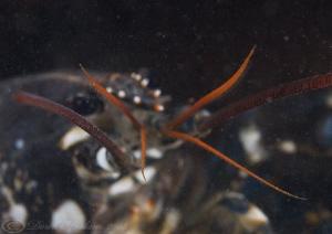 Common lobster. Menai straits. D3, 105mm. by Derek Haslam