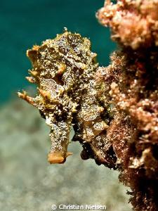 Peek-a-boo. Seahorse hiding on the divesite, El Puertito... by Christian Nielsen