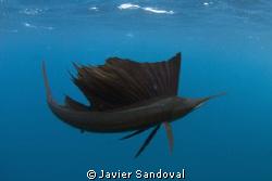 sail fish in dark color mode by Javier Sandoval