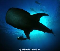 So big, so gentle... Cruising whale shark. Nikon D300+10.... by Mehmet Demirkan