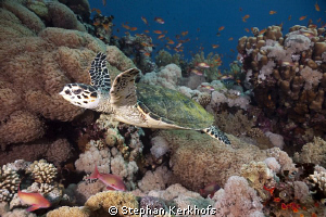 Nice little Hawksbill Turtle in the aquarium of Jackson r... by Stephan Kerkhofs