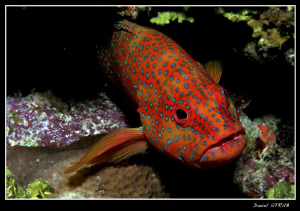 Dimond grouper comming out of his hideout :-D by Daniel Strub