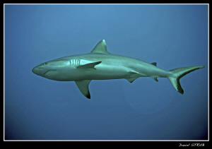 Charcharinus amblyrhynchos - Grey reef shark - most commo... by Daniel Strub