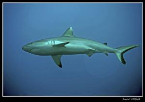 Charcharinus amblyrhynchos - Grey reef shark - most commo... by Daniel Strub