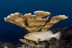 Grouper chilling under healthy staghorn coral. D300-Tokin... by Larry Polster