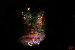 The Phantom. A small scorpionfish with selective illumina... by Arthur Telle Thiemann