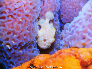 White Frogfish on a sponge at Capt Don's Habitat, Bonaire by Robert Michaelson
