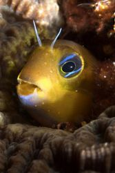 A blenny with large teeth, first time i noted them. Nikon... by Sean Sequeira