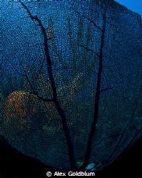 Sea Fan with lit coral behind by Alex Goldblum
