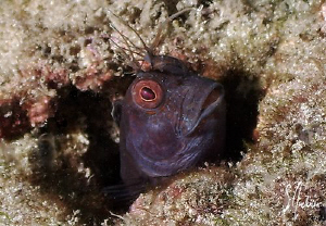This image of a Blenny was taken at Blue Heron Bridge. Gr... by Steven Anderson