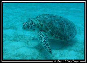 I saw this green turtle from the boat 15 meters down. Pic... by Raoul Caprez