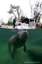 Crystal River manatee comes up for a breath of fresh air ... by Becky Kagan