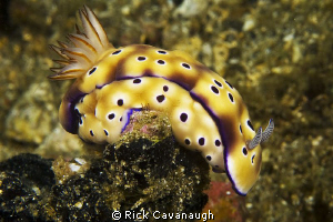 Nudibranch in Lembeh by Rick Cavanaugh