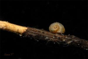Ramshorn snails,(planorbidae) by Sven Tramaux