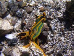 While diving in Lembeh I found this nudibranch laying egg... by Yves Antoniazzo