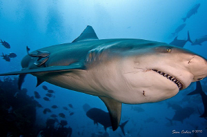 Catch me if you can.  This Bull shark is three times luck... by Sam Cahir