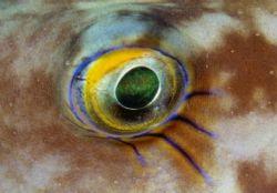 Puffer eye, dominica, permanent makeup. by Allen Ayling
