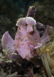 Paddle-Flap Scorpion Fish. Lembeh straits. D200, 60mm. by Derek Haslam