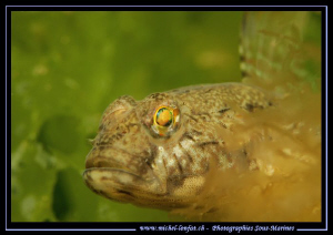 A beautiful Goby - with his amazing eyes in the water's o... by Michel Lonfat