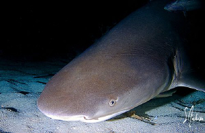 This Lemon Shark follows the slick from the baskets of de... by Steven Anderson