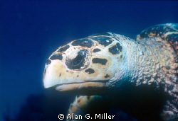 Turtle head, shot on Kodachrome 64 with a Nikonos RS, 50 ... by Alan G. Miller